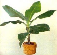 Aangeboden: Banaan:musa acuminata subsp. acuminata zaden` € 1,95