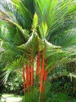 Aangeboden: Palmzaden: 15 x Cyrtostachys Renda € 1,95