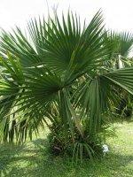 Aangeboden: Palmzaden, 20 x Sabal minor Louisiana Palmetto € 1,95
