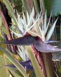 Aangeboden: Banaan zaden 7 Strelitzia nicolai witte paradijsvogelbloem € 1,95