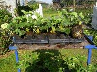 Aardbeienplanten, super mooie aardbeien planten