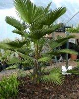 Aangeboden: Trachycarpus Wagnerianus 5 winterhard palmboom zaad € 1,95