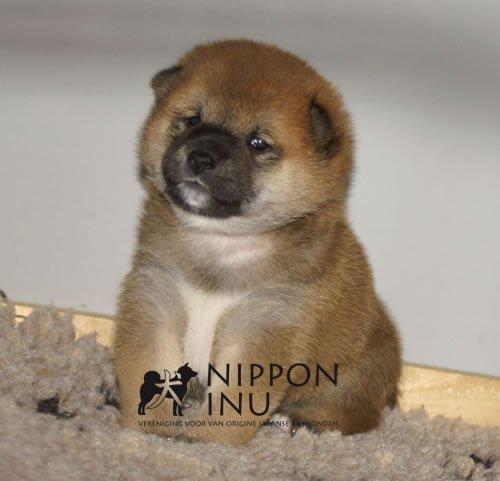 Zoekt U Een American Akita Inu Shiba Inu Of Kishu Pup