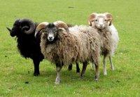 Aangeboden: Gratis Ouessant mini schapen uitproberen ? Gratis