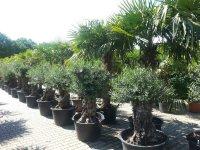 Olijfboom, Olijfbomen, Palmboom, Palmbomen, Palmen, Vijgenbomen,