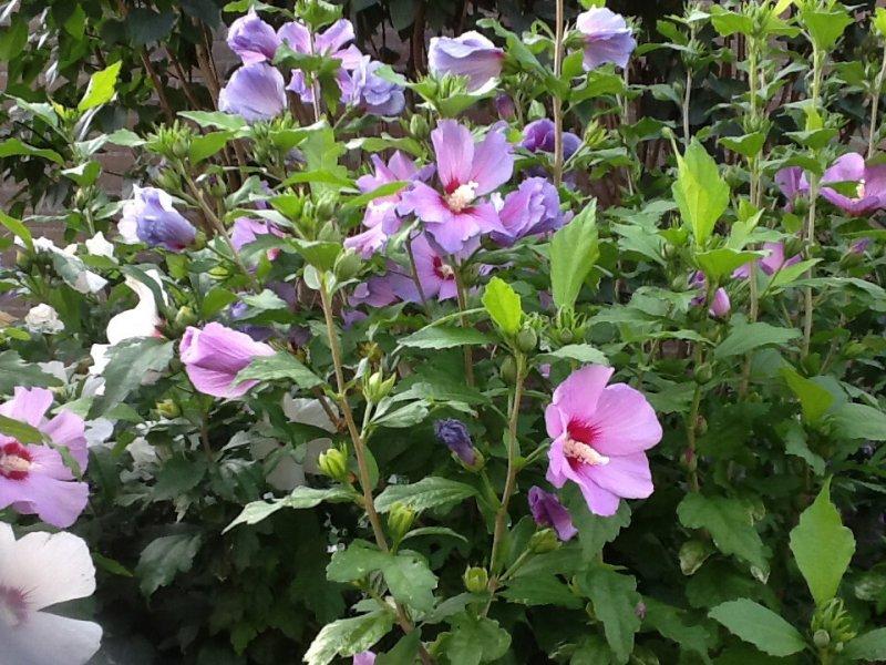 Struiken Met Bloemen Voor In De Tuin.Hibiscus Boompjes Struiken Alles Van Eigen Tuin Te Koop