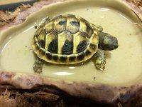 Schildpad schildpadden Griekse landschildpad