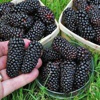 Bramen (doornloos) met super grote vruchten