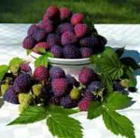 Framboos Purple Dream® met heerlijke aromatische