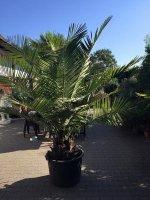 Palmboom Jubaea Chilensis 45 cm stamdiameter