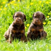 Dobermann pups met stamboom (zwarte &