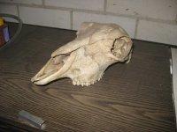 Schapen hoofd skelet