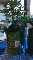 Pot bak palmboom olijfboom bamboe oleander