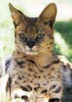 Savannah Cattery Ras Kat Kitten Kater