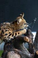 Savannah kitten raskatten raskat korthaar poes