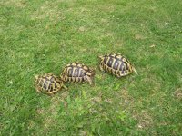 Schildpad - Halfwas en volwassen Griekse
