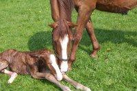 Huur een geboortemelder voor paard/pony\'s birth