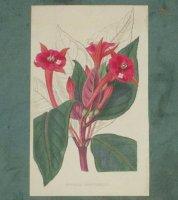 Hand gekleurde kopergravure Fuchsia van ca