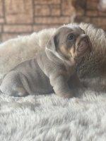 Klassieke Engelse bulldog pups