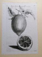 Kopergravure citroen van Cornelis Kick 17e