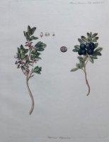 Botanische prent van de Flora Danica